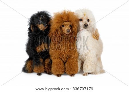 Three Toy Poodle Dogs Of Different Colors Sitting On A White Background
