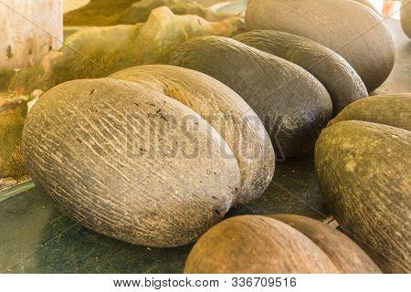 Amazing Coconuts Of Seychelles. Coco De Mer