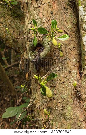 The Sprout Of Durian Tree On Seychelles