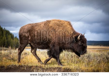 American Bison Walking And Looking For Food In Yellowstone National Park, Wyoming, Usa.