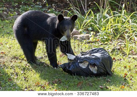 A Scavaging Black Bear Eats Garbage Out Of A Stolen Trash Bag On A Neighborhood Lawn On A Sunny Summ