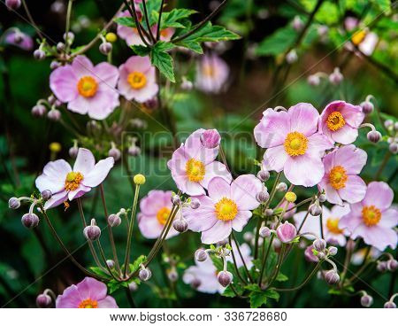 Japanese Anemone, Thimbleweed, Or Windflower Blossoms And Buds. Close Up.