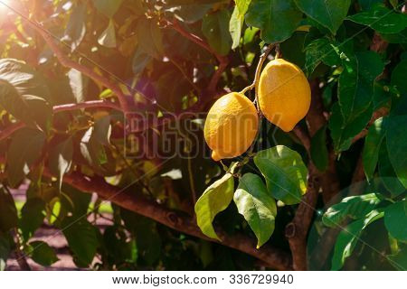 Juicy Lemon Fruits Hanging On A Branch On Bright Sunlights In The Garden On Summertime. Lemons Are G
