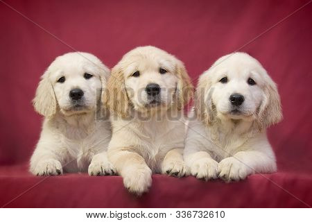 Three Little Smart Puppy Of Breed Golden Retriever Lie On A Pink Background And Posing