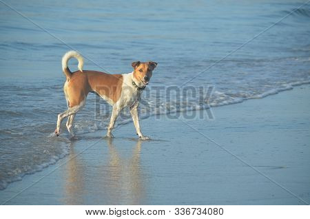 Attractive Brown And White Dog Of Non Specific Breed Walking In The Ocean Waters Edge On A Tropical