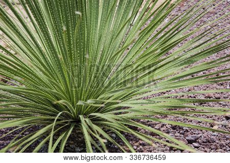 Long, Sharp, Thorny Leaves Of A Green Desert Spoon, Dasylirion Acrotrichum