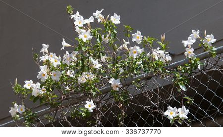 Beauty In Nature Image. Pretty White Pandorea Lady Di Flower Closeup In Full Bloom.  Australia.