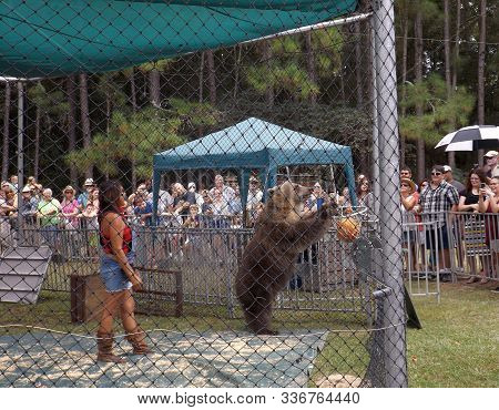Williston, Florida-september 21, 2019: At Two Tails Ranch, An American Brown Bear From Bearadise Ran