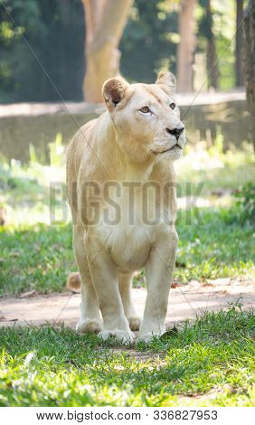 Female White Lion Walking On Grass