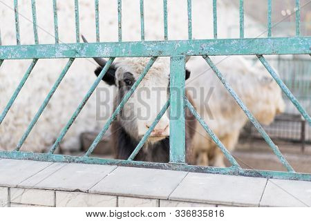 A Yak Looks Through The Bars Of The Zoo.a Yak Looks Through The Bars Of The Zoo