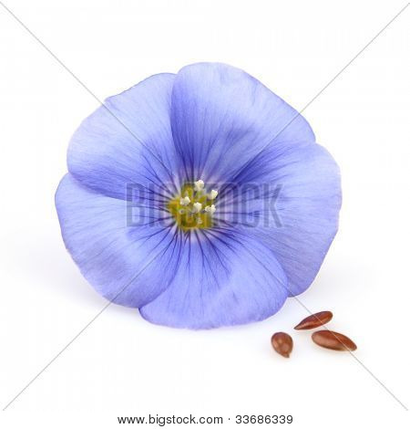 Flax flower with seeds on a white background
