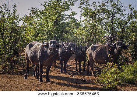 Small Group Of African Buffalo Looking At Camera In Kruger National Park, South Africa ; Specie Sync