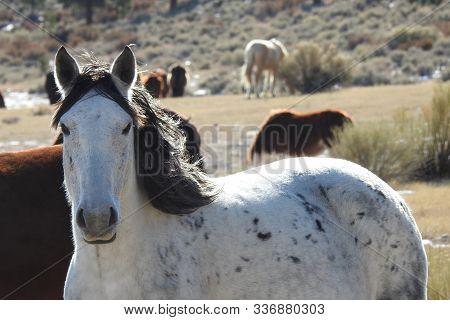 Wild Horses Roaming The Open Range, Off The Lower Tioga Pass, Eastern Sierra Nevada Foothills, Calif