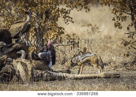 Black Backed Jackal, White Back Vulture And Lappet Faced Vulture Scavenging A Dead Giraffe In Kruger