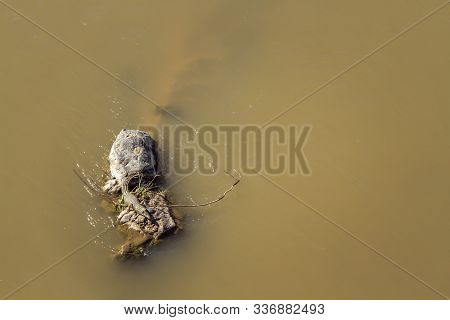 Aerial View Of Nile Crocodile In Middle Of River In Kruger National Park, South Africa ; Specie Croc