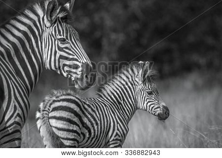 Baby Plains Zebra With His Mother In Kruger National Park, South Africa ; Specie Equus Quagga Burche