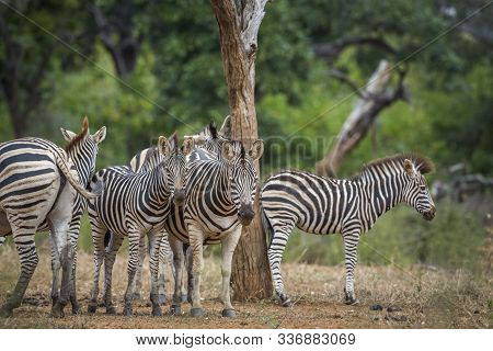 Plains Zebra Family Standing In Savannah In Kruger National Park, South Africa ; Specie Equus Quagga
