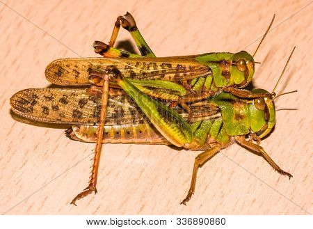 Macro Picture Of Two Grasshoppers One Over The Other About To Copulate