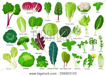Vegetable Lettuce Cartoon Vector Icon.illustration Of Isolated Cartoon Icon Vegetable Salad . Vector