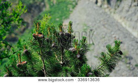 Cones On The Green Cedar. Coniferous Plants And Their Seeds