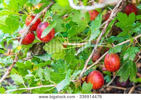 Berries On Branches Of Gooseberries In Summer Garden