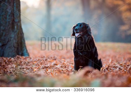 Black Dog Labrador In Autumn Sunset On Dry Leaves