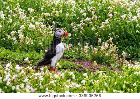 Puffin, With Brightly Coloured Beak, Living In Colonies Knows As A Puffinry, A Circus, A Burrow, A G
