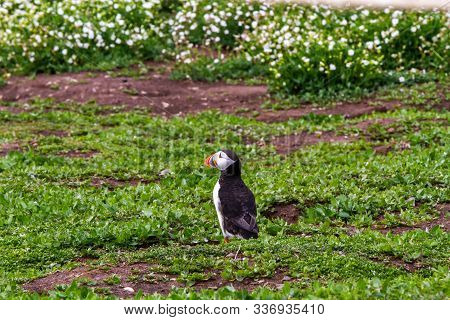 Puffin, With Brightly Coloured Beaks,  Also Knows As Puffinry, A Circus, A Burrow, A Gathering, Or A