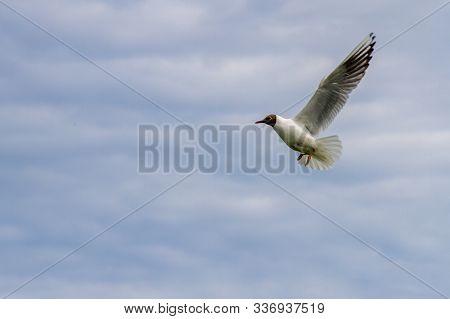 Tern In Flight In Farne Islands Over The Blue Sky