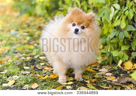 little clever pomeranian obeys the owner. dog obediently carries out the training command. Portrait of little fluffy German Spitz puppy on natural autumn background. banner, layout, postcard poster