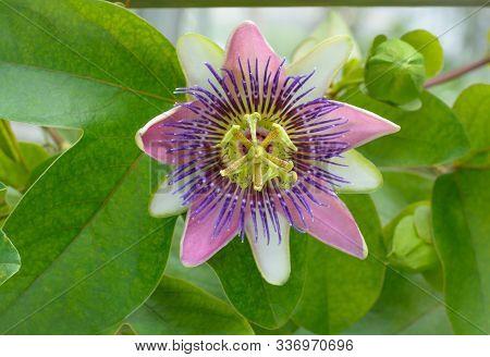 Passiflora Caerulea L. Flower Center On Blurred Background