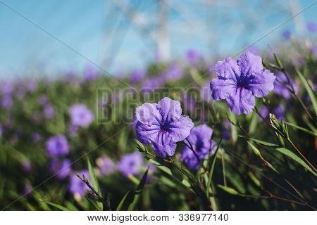 Ruellia Simplex Flower Blooming In The Garden. Natural Light