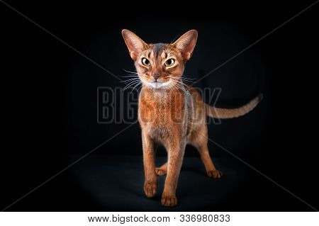 Beautiful Abyssinian Cat Smirks, Looking Into The Camera, Studio Portrait On Black, Space For Text