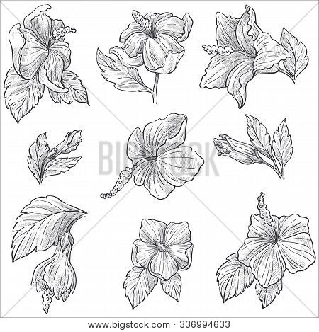 Wild Flower Or Hibiscus Plant Blossom Isolated Sketches