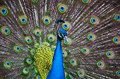 Close up of a male peacock displaying its stunning tail feathers poster
