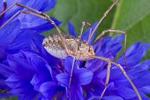 A daddy long legs is sitting on a blue wildflower. poster
