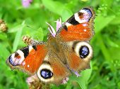 beautiful red peacock butterfly resting on flower poster