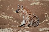 Hyena in Ngorongoro National Park in Tanzania poster