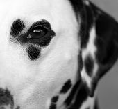 Close up of the eye of a dalmatian. poster