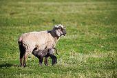Sheep and a lamb nursing poster