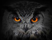 The evil eyes. ( Eagle Owl, Bubo bubo). poster