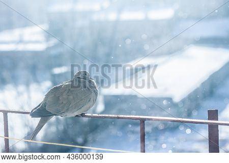 Pigeon Freezing In The Cold Fluffing Its Feathers In The Winter | Beautiful Winter Scene Pigeon Sitt