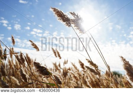 Yellow Ears Of Field Grass On A Summer Sunny Day Against The Background Of The Blue Sky. Close-up Wi