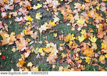 Red, Green And Yellow Maple Leaves Had Fallen To Ground. Yellow Maple Leafs On Green Grass For Backg