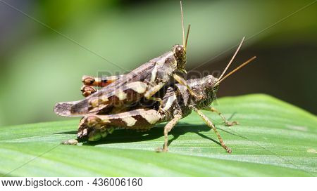 Horizontal Shot Of Two Brown Grasshopper's Mating In The Garden On A Green Leaf Under Bright Dayligh