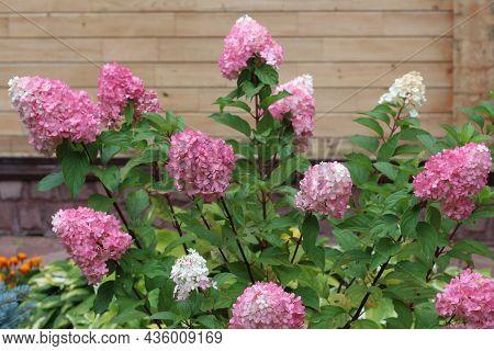 Blooming Hydrangea In The Summer Garden. A Beautiful Shrub.