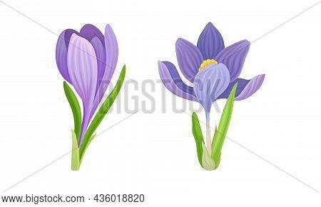 Beautiful Purple And Violet Crocus Flowers Set Vector Illustration