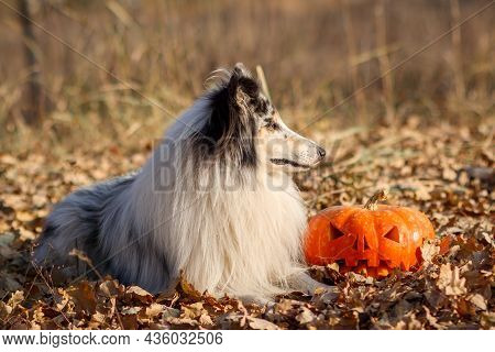 Portrait Of A Blue Merle Rough-haired Merle Collie With A Pumpkin For Halloween In An Autumn Park