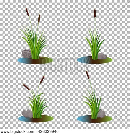 Vector Set Of 4 Cattail Stalk Bushes In Swamp Water With Stones On The Side Isolated On Transparent