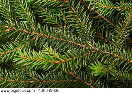 Fir Tree. Background And Texture For Christmas Tree Branches. Top View. Copy Space.